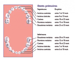 eruption-dents-primaires-evolution-dentiste-enfant-gatineau-outaouais-hull